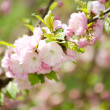 Prunus serrulata or Japanese Cherry in full bloom. — Stock Photo