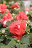 Red Flower — Stockfoto