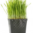 Organic Wheat Grass — Stock Photo #5628434