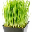 Stock Photo: Organic Wheat Grass