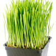 Organic Wheat Grass — Stock Photo