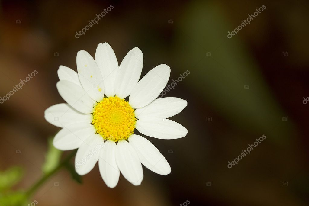 Close-up photograph of a perfect white daisy. — Stock Photo #6222180