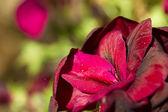 Red Geranium — Stock Photo