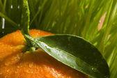 Laranja tangerina — Fotografia Stock