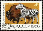 Zebra and bison on post stamp — Stock Photo