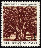 Old 500-years nut-tree in Golyamo-Dryanovo on post stamp — Stock Photo