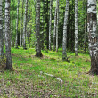 Old birch trees — Stock Photo