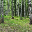 Old birch trees - Stock Photo