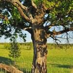Old oak tree — Stock Photo