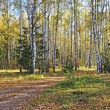 Stock Photo: Birch forest in autumn