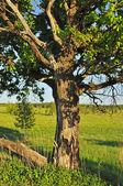 Vieux chêne — Photo