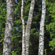 Trunks of birch trees in forest — Stockfoto