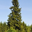 Stock Photo: Solitary fir tree in forest