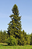 Solitary fir tree in forest — Stock Photo