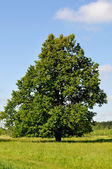 Solitary linden tree on the meadow — Stock Photo