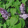 Blooming lilacs — Stock Photo #5879086