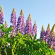 Blooming lupines — Stock Photo #5910450