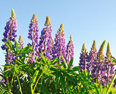 Floraison des lupins — Photo