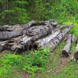 Old logs in the forest — Stock Photo