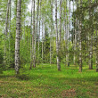 Spring birch forest — Stock Photo