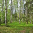 Stock Photo: Spring birch forest