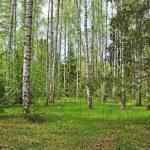 Spring birch forest — Stock Photo