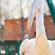 Stock Photo: White Pelican