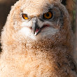 Bubo bubo sibiricus - Stock Photo