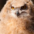 Bubo bubo sibiricus — Stock Photo