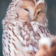 Ural Owl - Stock Photo