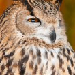 Royalty-Free Stock Photo: Eurasian Eagle-owl