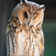 Long-eared Owl - 图库照片