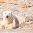 Polar bear — Foto de stock #6480939