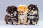 Three Pomeranian puppies — Stock Photo