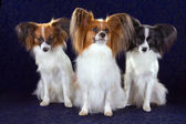 Three Papillon dog — Stock Photo