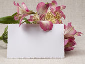 Alstroemeria fleur blanc — Photo