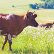 Cows on summer meadow. - Stock Photo