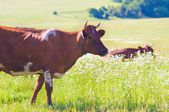 Cows on summer meadow. — Stock Photo