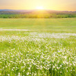Big field of flowers on sunrise. — Stock Photo