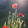 Stock Photo: Poppies in sun beams.