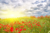 Poppy meadow. — Stock Photo