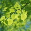 Beautiful green leaves on bright sun — Stock Photo