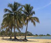 Kokosové palmy na Karibské pláži — Stock fotografie