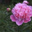 Pink peony flower in a garden — Stock Photo