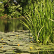 Quiet summer river with yellow water lilies - Stock Photo