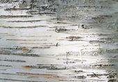 Close up of birch bark surface texture — Stock Photo