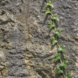 Bindweed on stone wall - Stock Photo
