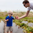 Father and son picking strawberries — Stock Photo #6204109