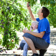 Father and son picking plums — Foto de Stock