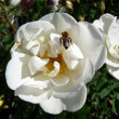 Bee on the white dogrose — Stock Photo